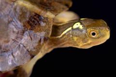 Beal's eyed turtle (Sacalia bealei) Royalty Free Stock Photo