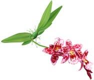 Beallara orchid plant Royalty Free Stock Photography