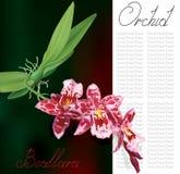 Beallara orchid plant Stock Photos