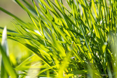 A beam of green grass up close. In high resolution royalty free stock photography