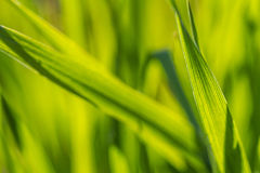 A beam of green grass up close. In high resolution royalty free stock photos