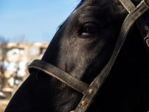 A beam of light falls on the horse`s face black. royalty free stock image