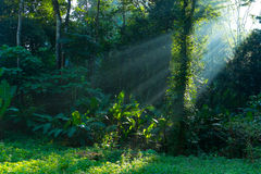 Beam of light. Forest, nature, sunshine,light, beam, plant, wild, good morning,forest under sunrise Royalty Free Stock Photography