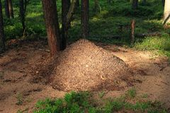 Ray of sun on an anthill in the forest. A beam of light, a luminous anthill in the forest Stock Photo