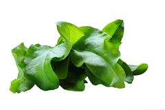 Beam of sorrel on a white background . Harvest. In isolation.  Stock Photo