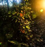Fall leaves lit up by sunlight Royalty Free Stock Images