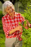 Beaming appealing elderly lady smiling while cutting branches. Elderly lady smiling. Beaming appealing elderly lady wearing squared shirt smiling while cutting stock image