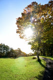 Beaming maple. Japanese maple tree on a green turf with beaming sun in the morning Royalty Free Stock Photo