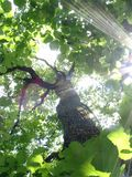 beams den sol- oaken Arkivbild