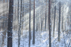 Beams through frosty fog in the winter pine wood Stock Photography