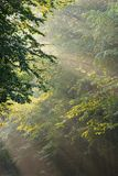 Beams of light. Entering summer deciduous forest royalty free stock image
