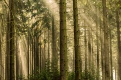 Beams of light in the fir forest with mystical mood. And light royalty free stock photography