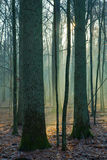 Beams of ligth entering forest royalty free stock images