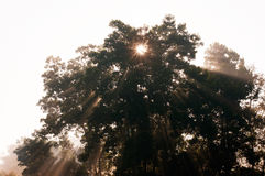 Beams of morning sun filtering through the tree Royalty Free Stock Image