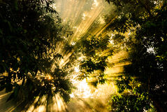Beams of morning sun filtering through the tree and fog. Stock Image