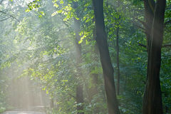 Beams of sunlight entering forest Royalty Free Stock Image