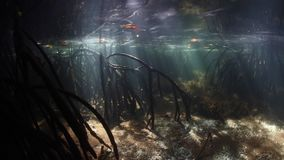 Sunbeams in Raja Ampat Blue Water Mangrove. Beams of sunlight filter through the canopy of a blue water mangrove forest and fall into the dark, underwater stock video