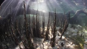 Beams of sunlight in Indonesian mangrove forest. Beams of sunlight filter through the canopy of an Indonesian mangrove forest and underwater. Mangroves are stock footage