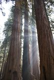 Beams of Sunlight Through Trunks of Giant Sequoia Redwood Trees. Sunbeams through trunks of Giant Sequoia Redwood trees in California Sierra Nevada mountains royalty free stock photo