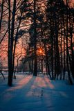 Beams of the sunset sun shine through trees in the winter forest royalty free stock photo