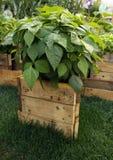Bean auf dem kleinen angehobenen Gartenbett Lizenzfreie Stockfotos