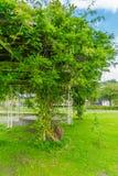 Bean-Baum im Parkabschluß oben Lizenzfreie Stockfotos