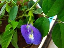 Bean-Blume stockfotos