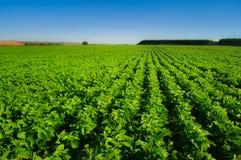 Bean crop Royalty Free Stock Photo