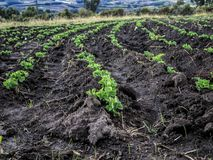 Bean crop plantation royalty free stock photo