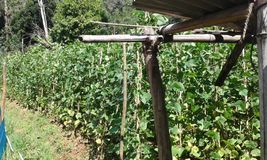 Bean Cultivation in Ambegoda Royalty Free Stock Images