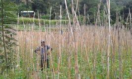 Bean Cultivation in Ambegoda Stock Image