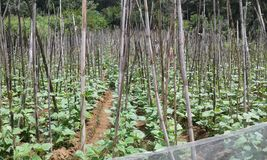 Bean Cultivation i Ambegoda Royaltyfri Foto
