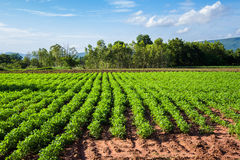 Bean farm Stock Images