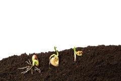 Bean, fava bean and chickpeas seeds germination isolated stock photos
