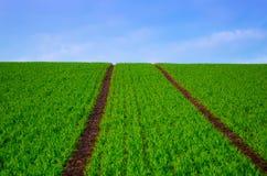 Bean-Feld am Frühling Stockbild