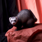 Bean the Ferret. Dark sable ferret posing naturally posing on a orange and black muslin backdrop Royalty Free Stock Image