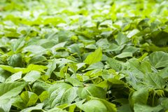 Bean field royalty free stock images
