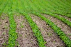 Bean Field in de Lente Stock Fotografie