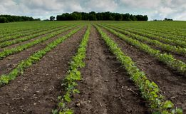 Bean Field in de Lente Stock Afbeelding