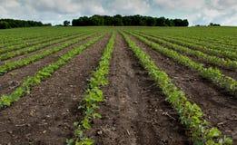 Bean Field i vår Fotografering för Bildbyråer