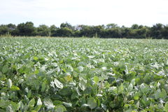 Bean Field. Late Season Bean Crop Field Royalty Free Stock Photo
