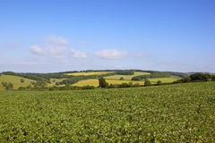 Bean field and patchwork fields. A bean field in the yorkshire wolds with a scenic backdrop of patchwork fields under a blue sky in summer Stock Photo