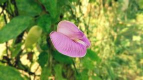 bean flower royalty free stock image