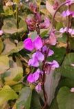 Bean Flower und schöner Hintergrund stockbild