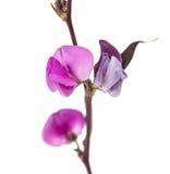 Bean flower Royalty Free Stock Photo