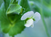 Bean flowers with spray from natural Stock Images