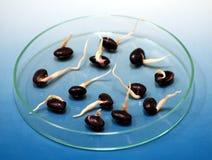 Bean germ. Laboratory bean germinative faculty testify Stock Photo