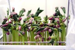 Bean germ. Laboratory bean germinative faculty testify Royalty Free Stock Photo