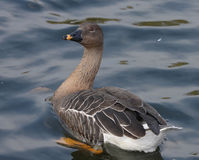 Bean Goose. foto de stock royalty free