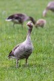 Bean Goose Fotografía de archivo libre de regalías